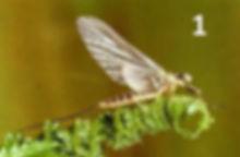 olive upright - female dun - first natur
