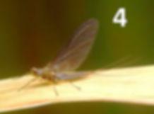 blue winged olive - female dun - first n