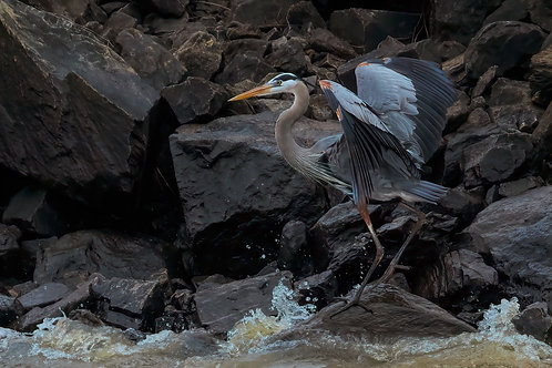 riprap great blue heron