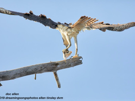 Osprey Got His Fish...