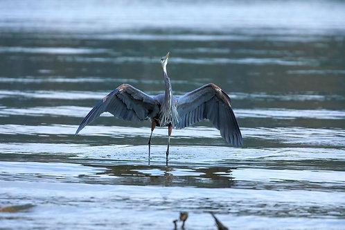 great blue heron challenge
