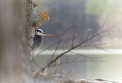 _ARK2692 Great Blue Heron vignette