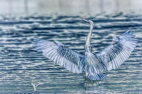 dancing great blue heron