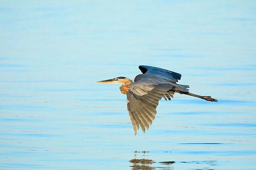 bright great blue heron