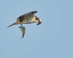 _ARK5319 osprey eye-to-eye