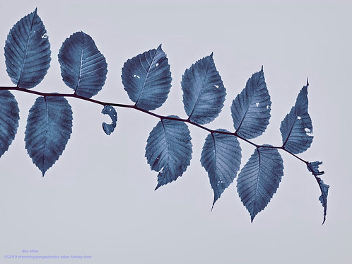elm leaves in blue