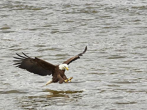 Bald eagle fishing, step 1