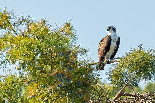 pensive female osprey fledgling