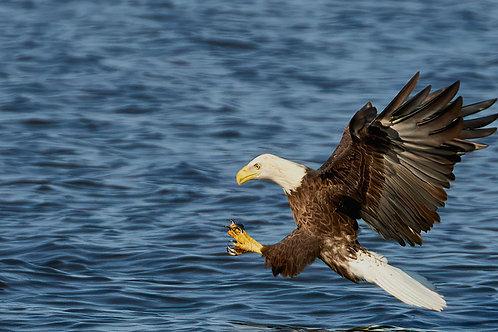 ready to strike, bald eagle