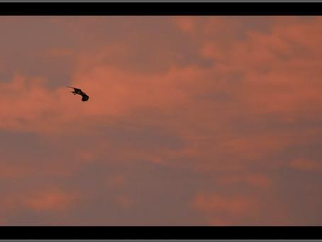 Sunrise Bald Eagle Fledgling