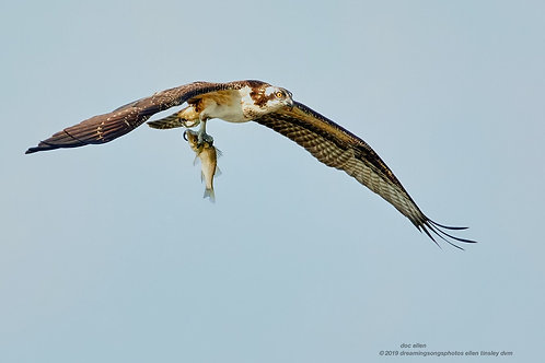 osprey fledgling with fish