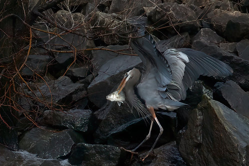 great blue heron with his catch