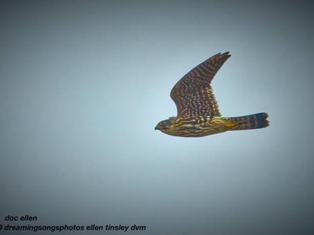 Falcon! Merlin!!
