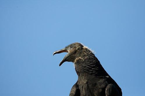 yawning black vulture