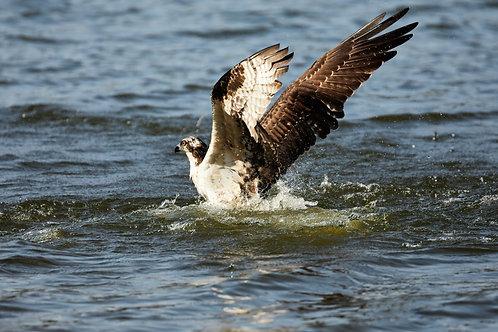 emerging osprey fledging