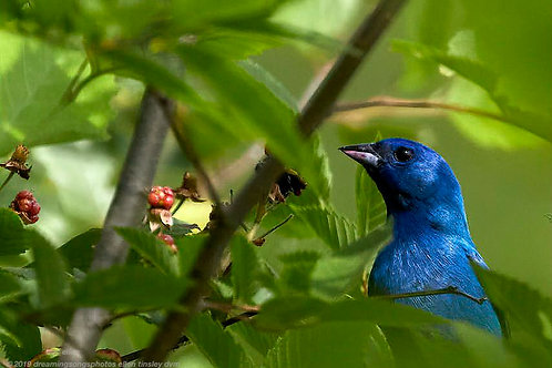 indigo bunting caught snacking