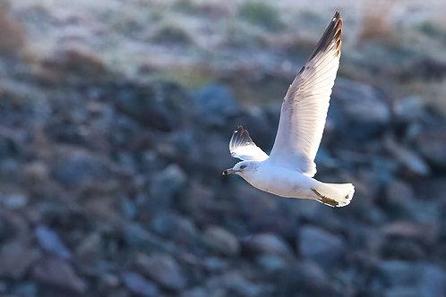 riprap ring-billed gull