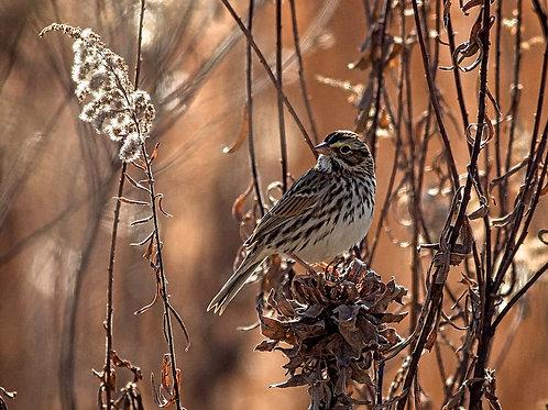savannah sparrow in meadow