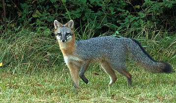 m3_ grey fox vixen