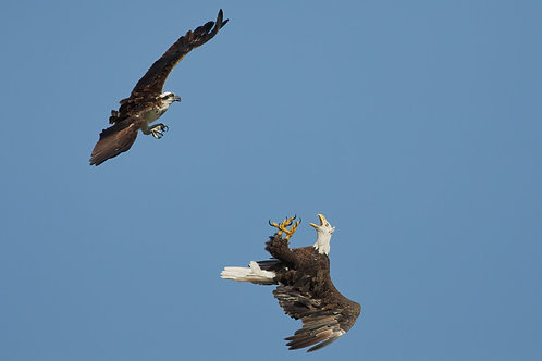 bald eagle and osprey conflict
