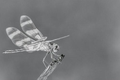 pennant dragonfly