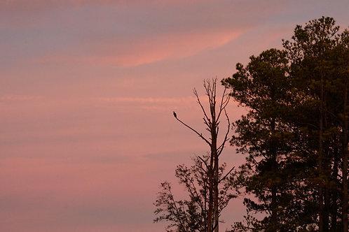 osprey pink dawn