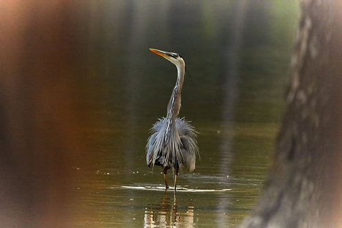 great blue heron framed by nature