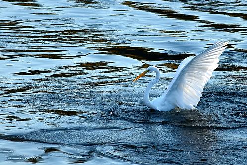 angel egret
