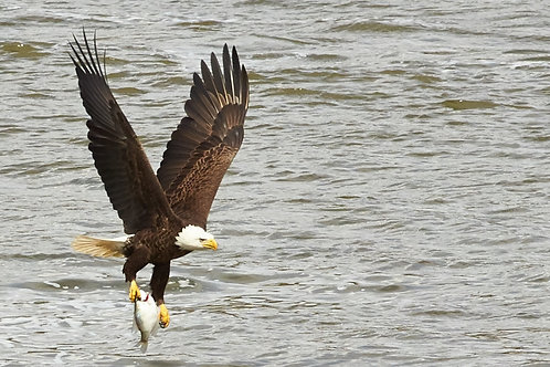 Bald eagle fishing, step 3