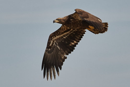 2-year-old bald eagle
