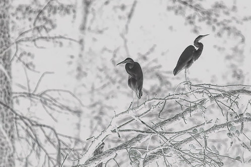 great egret pair, in black and white