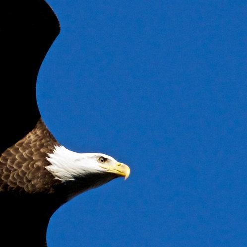 Bald Eagle head detail