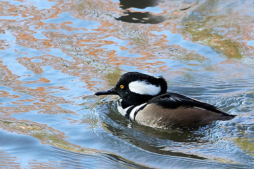 hooded merganser, drake