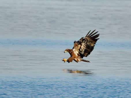 Bald Eagle Fledgling Catches a Fish