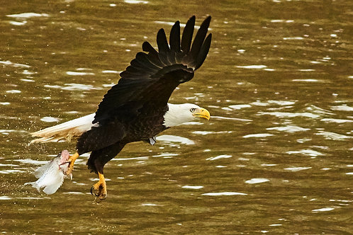 5+year-old mature bald eagle
