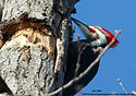 _ARK8149 pileated woodpecker