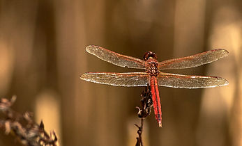 dr1 bejeweled dragonfly