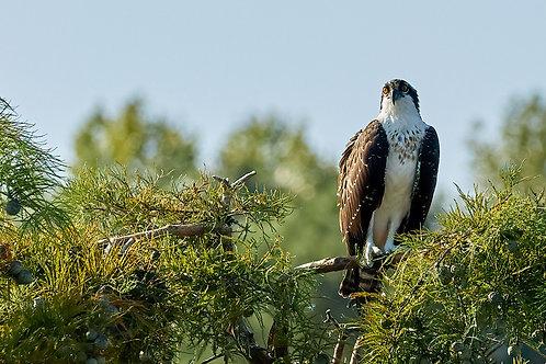 female osprey fledgling