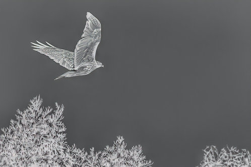 red-tailed hawk in black and white