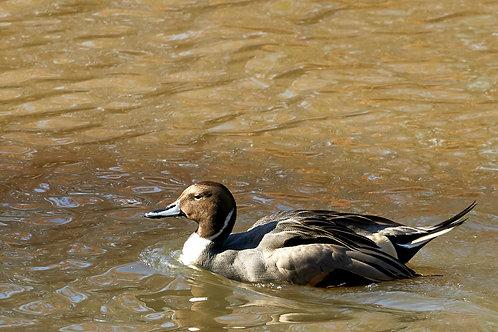 northern pintail duck, drake