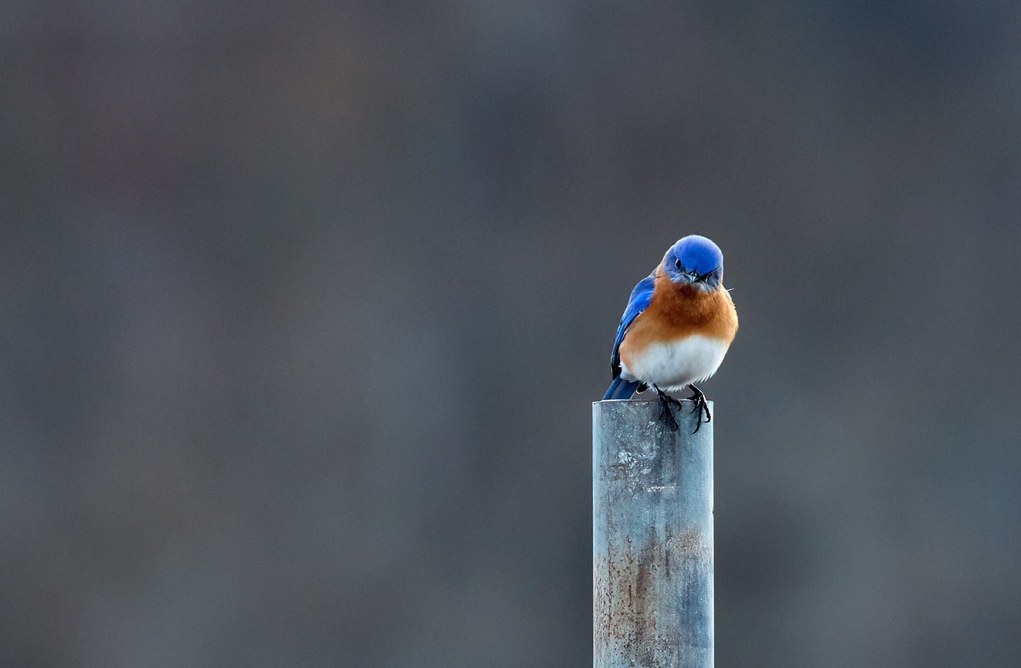 _ARK8536 bluebird pout