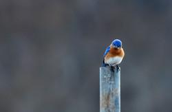 _ARK8536 bluebird pout