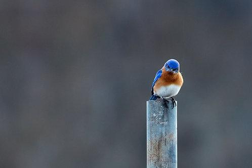 eastern bluebird pout