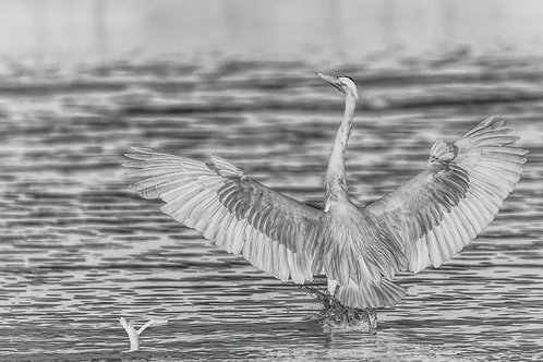 great blue heron, black and white
