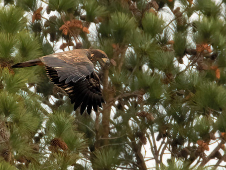Indifferent Bald Eagle Fledgling