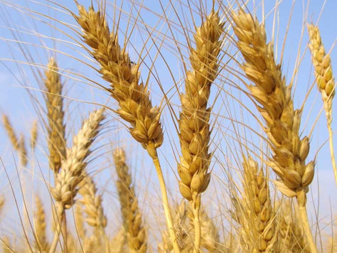 The Wheat vs. The Tares