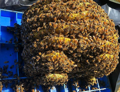 HIVE REMOVAL2_edited.jpg