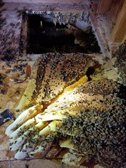 Hive Removal