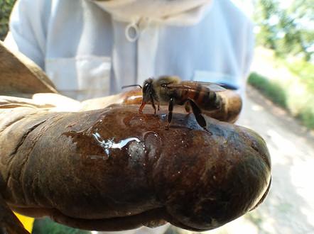 Honeybee Close Up