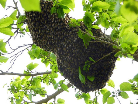 Why our Swarm Removals are a Public Service